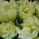 White Tulips by Loisb