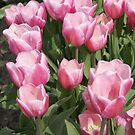 Pink Tulips by Loisb
