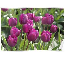 Lavender Tulips Poster