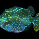Male Shaw's Cowfish by Carolien Mermans