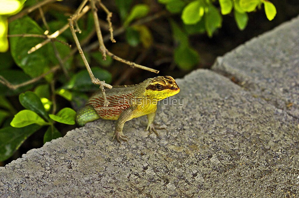 Perched Lizard by Chris Hardley