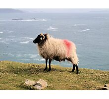 Tagged Sheep Photographic Print
