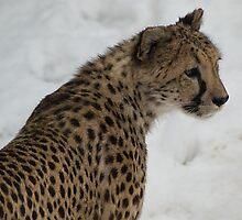 Cheetah Profile by Kathy Newton