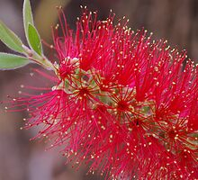 Bright Red Bottle Brush by Sue-Ellen Cordon