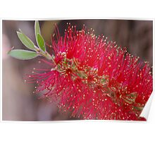 Bright Red Bottle Brush Poster