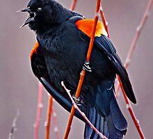 Red WIng Blackbird by scarlett131