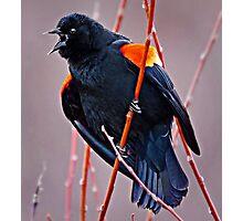 Red WIng Blackbird Photographic Print