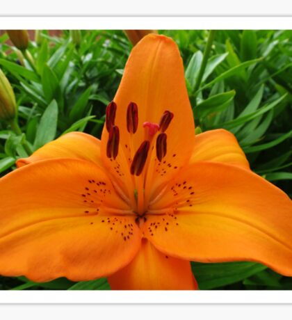 Reach for the Sky! Orange Lily and Buds Sticker