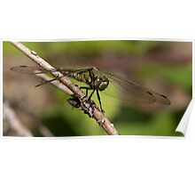 Female Keeled Skimmer Poster