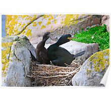 A cormorant protects it's chick as a gull approaches, Saltee Island, County Wexford, Ireland Poster