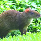 A Nutria in the Grass by Laurel Talabere