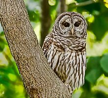 Short Eared Owl by Brandon Batie