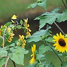yellow finch by Tracey Hampton