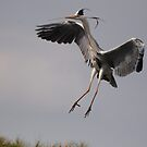 Grey Heron by Ann Heffron
