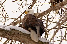 I don't have anything.                 Bald eagle by tcat757