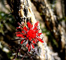 Indian Paintbrush by ThomHull