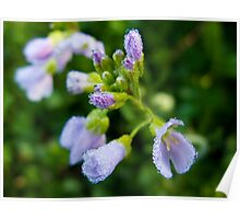 Spring Dewdrops on Purple Flower Poster