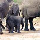 THE LITTLE GUARDED BABY ELEPHANT by Magriet Meintjes