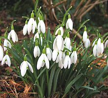 Snowdrops in my Garden by Betty Mackey