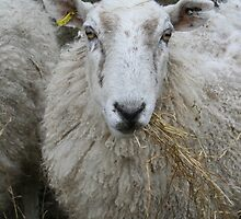Sheep by Mandy Kerr