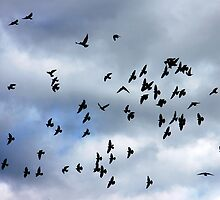 Wing formations in flight - flock of birds by Penny V-P