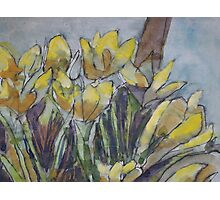 Daffodils in the morning sun Photographic Print