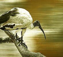 Ibis by shalisa