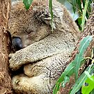 Sleeping Koala by Michael  Moss