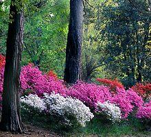 Azaleas Abloom by Yvonne Powell