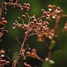 Rain drop flower buds at Eildon by Jess Hall