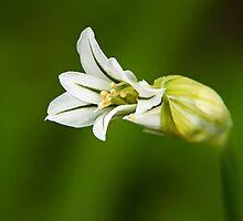 Woodland White Flowers by Susie Peek