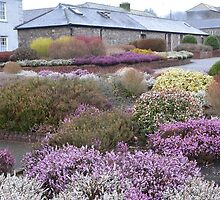 Spring Heathers in Bloom,Visitors Centre,Mount Mellary Abbey. by Pat Duggan