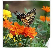 Swallowtail Butterfly and Marigold Garden Poster