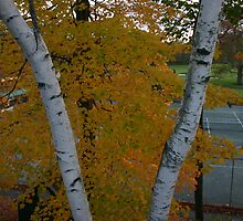 Split white birch trees overlook tennis court by Bigart32
