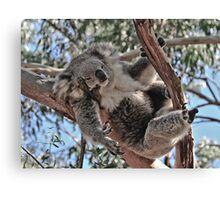 Koala at Phillip Island Victoria Canvas Print