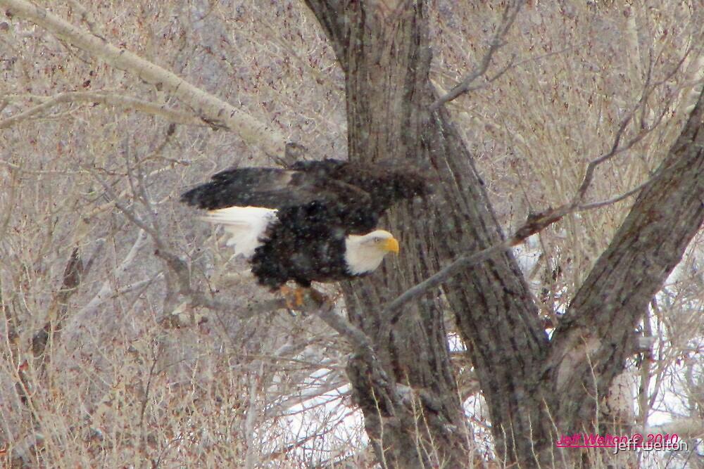 snow eagle by jeff welton