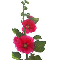 Blooming Hollyhocks Photographic Print