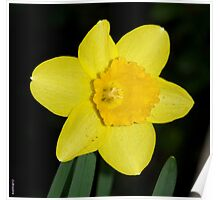 First Daffy of Spring Poster