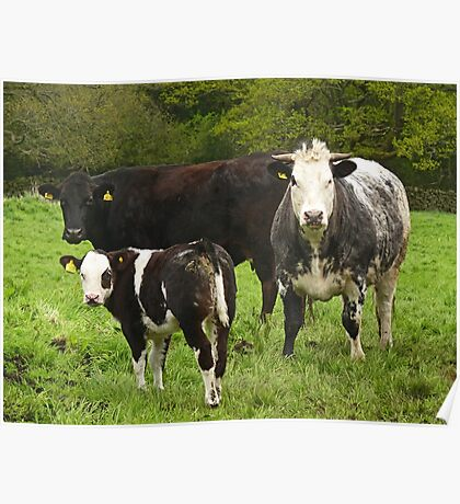 Funky Cow Poster