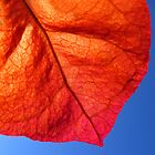 red leaf against blue sky by trishie