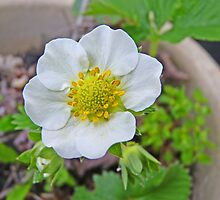 Strawberry Blossom by Kat Simmons