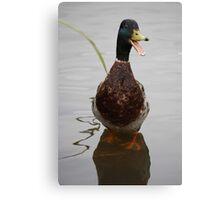 Shouting Mallard Duck Canvas Print