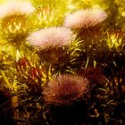 Scotch Thistle by © Helen Chierego