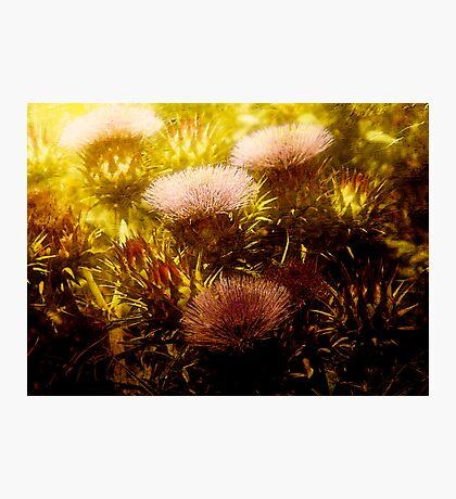 Scotch Thistle Photographic Print