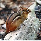 "Wee Little Chipmunk, ""I'm so Cute!"" by Sandy O'Toole"