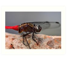 Red Skimmer Art Print
