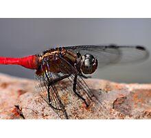 Red Skimmer Photographic Print