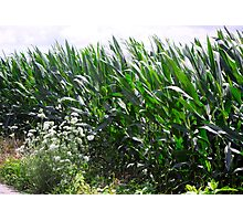 JUNE CORN PATCH Photographic Print