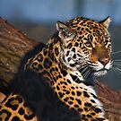 Thoughtful jaguar by Shaun Whiteman