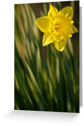 Daffodil 2 by Ra12